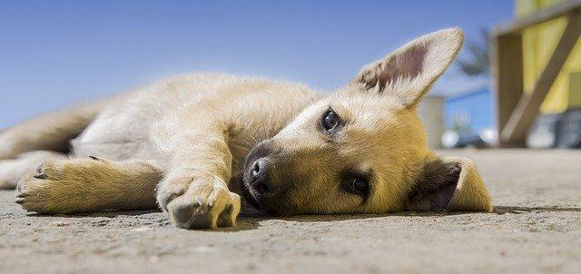 krásné štěně